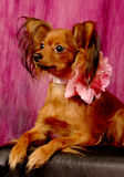 Terrier de brinquedo no sofá Foto de Stock