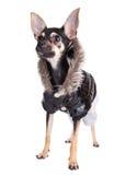 Terrier de brinquedo pequeno do cão no revestimento com uma capa Imagem de Stock