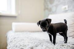 Terrier de brinquedo preto do cachorrinho que senta-se em um sofá imagens de stock