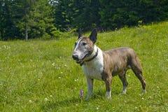 Terrier de Bull Fotos de archivo