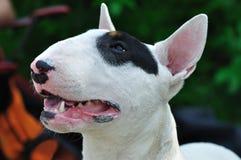 Terrier de Bull foto de archivo