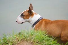 Terrier de Bull Fotografía de archivo