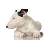 Terrier de Bull Foto de Stock