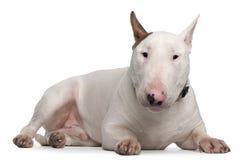 Terrier de Bull, 9 meses velho, encontrando-se Imagens de Stock Royalty Free