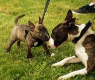 Terrier de Bull Imagens de Stock