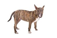 Terrier de Bull inglês Imagens de Stock
