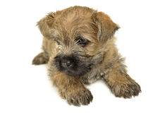 Terrier de cairn de chiot se trouvant sur le plancher Photo stock