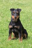 Terrier de chasse allemand Image libre de droits