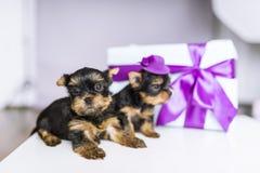 Terrier de dos Yorkshire y caja de regalo encantadores con el arco Fotografía de archivo libre de regalías