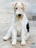 Terrier de Fox 1 Fotografía de archivo libre de regalías