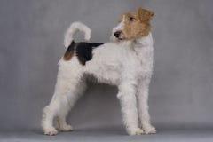 Terrier de Fox Fotos de archivo
