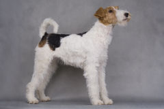 Terrier de Fox Foto de archivo libre de regalías