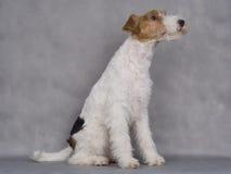 Terrier de Fox Fotografía de archivo