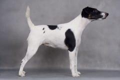Terrier de Fox Fotos de Stock Royalty Free