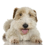 Terrier de Fox Imagen de archivo