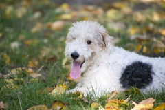Terrier de Fox Images libres de droits