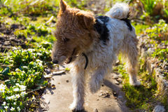 Terrier de Fox Photographie stock