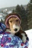 Terrier de Fox dans des combinaisons tricotées photo libre de droits