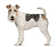 Terrier de Fox, o 1 anos de idade, estando Imagens de Stock
