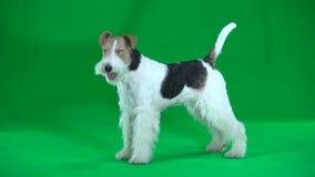 Terrier de Fox Tela verde video estoque