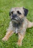 Terrier de frontera inglés Fotografía de archivo