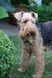 Terrier de galês Fotografia de Stock Royalty Free