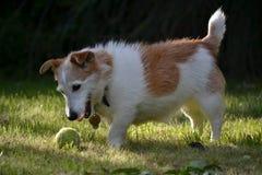 Terrier de Gato Russel Imagen de archivo libre de regalías