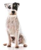 Terrier de Gato Russel foto de archivo libre de regalías