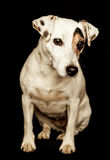 Terrier de Gato Russel Foto de archivo