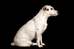 Terrier de Gato Russel Fotografía de archivo libre de regalías