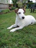 Terrier de Gato Russel Fotos de archivo
