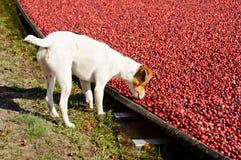 Terrier de Gato Russel en un pantano Foto de archivo libre de regalías