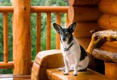 Terrier de Gato Russel que se relaja en la cabina de registro Imagenes de archivo