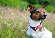 Terrier de Gato Russel que se sienta en alta hierba Imágenes de archivo libres de regalías