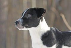 Terrier de Gato Russel, retrato Fotos de archivo