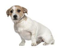 Terrier de Gato Russell, 1 y una mitad de los años Imagen de archivo