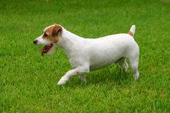 Terrier de Gato russell Fotos de archivo