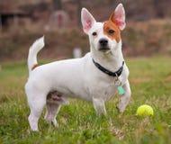 Terrier de Gato Russell Fotografía de archivo libre de regalías