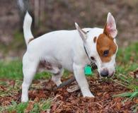 Terrier de Gato Russell Imagen de archivo