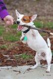 Terrier de Gato Russell Foto de archivo