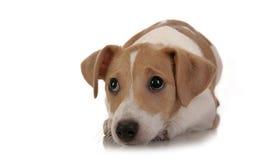 Terrier de Gato Russell Imagenes de archivo