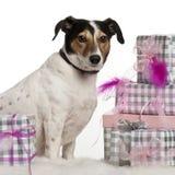 Terrier de Gato Russell, 6 años Fotografía de archivo libre de regalías