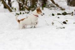 Terrier de Gato Russell del párroco en nieve profunda Imágenes de archivo libres de regalías