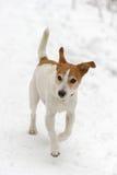 Terrier de Gato Russell del párroco que se ejecuta en nieve Imagen de archivo