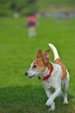 Terrier de Gato Russell del párroco que se ejecuta en un parque fotografía de archivo libre de regalías
