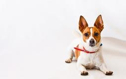 Terrier de Gato Russell en un fondo blanco fotografía de archivo libre de regalías