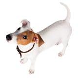 Terrier de Gato Russell, perrito imagen de archivo libre de regalías