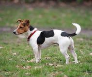 Terrier de Gato Russell que se coloca en un parque imagen de archivo