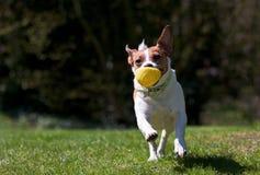 Terrier de Gato Russell que se ejecuta con la bola fotos de archivo libres de regalías
