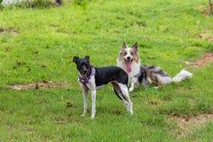 Terrier de gris et blanc de border collie et de braziliam jouant sur l'herbe verte photographie stock